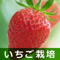 いちご栽培
