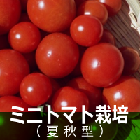 ミニトマト(夏秋型)栽培