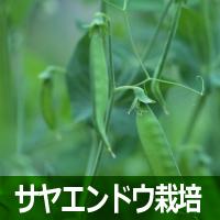 サヤエンドウ栽培