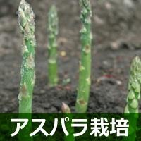 アスパラ栽培